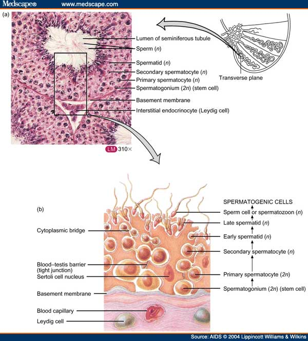 Seminiferous Tubules Anatomy